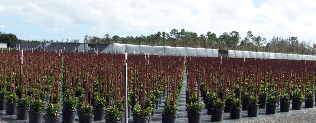 Country Joe S Nursery Is Located On 80 Lush Acres In Lake Worth Palm Beach County Florida We Grow Many Varieties Of Interior Tropical Foliage And